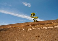Green pine tree on a dark volcanic ground