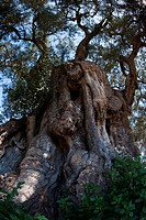 Detail view of ancient olive tree from below, showing gnarled and massive trunk, and foliage above, with blue sky, sunny spring afternoon, Salento, Pu...