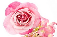 A beautiful pink rose and hydrangea on a white background