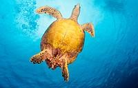Schildkröte, Seychellen