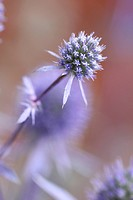 Eryngium planum, Sea holly, Blue subject