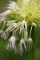 Flower, Cream subject, Green background.