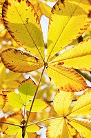 Aesculus turbinata, Horse chestnut, Japanese horse chestnut, Yellow subject.