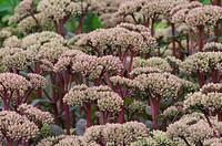 Sedum ´Matrona´, Stonecrop, Pink subject.