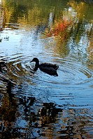 Duck swimming in a pond