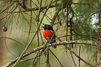 Scarlet Robin Petroica boodang, male, perched in tree, Southwest Australia