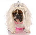 english bulldog dressed up like girl with blonde wig and tiara with reflection on white background