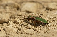 Green tiger beetle Cicindela campestris, northern Bulgaria, Bulgaria, Europe