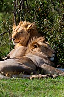 Two adult lions, one male, one female, lying near bushes in early morning light, side view close up, with each looking in opposite directions, Masai M...