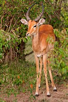 Close up of adult male impala standing in front of thicket of bushes, front view, Masai Mara, Kenya, East Africa