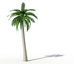 palm tree isolated on white _ rendering