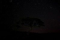 Acacia tree at dawn with faint pink light at horizon of star_filled indigo blue sky, Lewa Downs, Kenya, East Africa