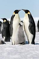 Emperor penguins Aptenodytes forsteri on the ice in the Weddell Sea, Antarctica