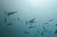 School of fish swimming underwater, San Cristobal Island, Galapagos Islands, Ecuador