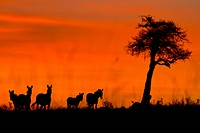 Sunrise on the Mara: close up view of zebra group silhouetted against red pink sky, with acacia tree, Masai Mara, Kenya, East Africa