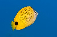 Underwater life a yellow Milletseed Butterflyfish Chaetodon miliaris swimming in the Pacific Ocean, Hawaii.