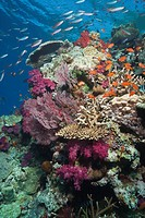 Underwater life a tropical coral reef with schools of fish Anthias _ Psuedanthias sp. and colorful soft corals, hard corals and sea fans, South Pacifi...