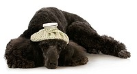 sick dog _ standard poodle with hot water bottle on head laying down
