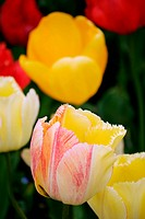 spring flower tulip. nature