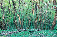 dark green wood in lower Austria