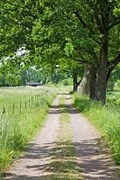Gravel road at the big oak trees