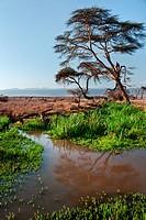 acacia, African, Mount Kenya, Lewa Downs, Kenya, bank, Africa