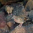 Galapagos doves Zenaida galapagoensis, North Seymour Island, Galapagos Islands, Ecuador