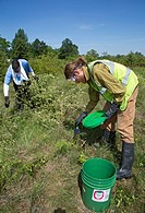 Detroit, Michigan - Volunteers remove invasive buckthorn from a prairie habitat in Rouge Park  After cutting the stems, a chemical control agent was a...