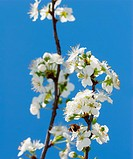 Apis mellifera on white pear blossom