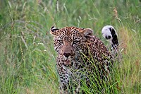 Leopard Emerging from dense bush in the Kruger National Park