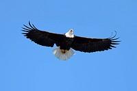 Adult Bald Eagle haliaeetus leucocephalus in flight against a blue sky