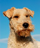 portrait of a purebred fox terrier on a blue sky
