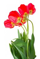 red tulips bouquet, isolated on white