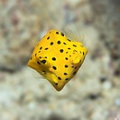 Small boxfish underwater close_up. Celebes sea. Sipadan.