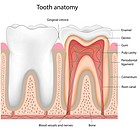 Tooth anatomy, eps8, mesh