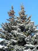 couple of blue fir_trees, a lot of cones on their branches covered with snow