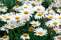 Camomiles or white daisies flowers