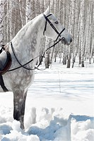 outdoor shot of pale horse in sunny winter birch forest