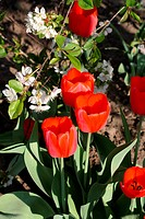 Spring garden. White flowers of cherry and red tulips. Close up.