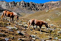 herd of horses in the mountains of the Dolomites