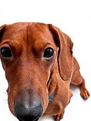 A closeup of a miniature Dachshund who is staring into the camera, isolated on white.