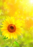 Yellow sunflower and bright sun