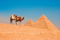 A pair of camels wait in front of the Pyramid of Khufu Cheops and Pyramid of Khafre to transport tourists back to the entrance of the Giza pyramids in...