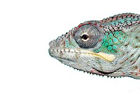 portrait of a male panther chameleon furcifer pardalis from africa