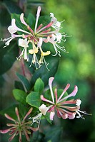 Honeysuckle flower close up