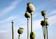 Seed heads of poppy plant looking up against blue sky