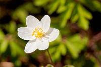 White anemone macro close up in nature