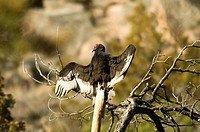 Turkey Vulture, Cathartes Aura. Carrion_Feeder, Often Seen Soaring Or Roosting In Groups. New Mexico