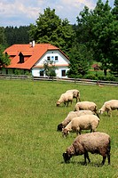 Cottage and sheep, Veselý Kopec, Czech Republic