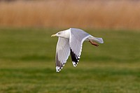 Herring Gull Larus argentatus adult, winter plumage, in flight, Suffolk, England, january